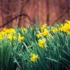 3-14-19: Daffodils in hte WIldwood.
