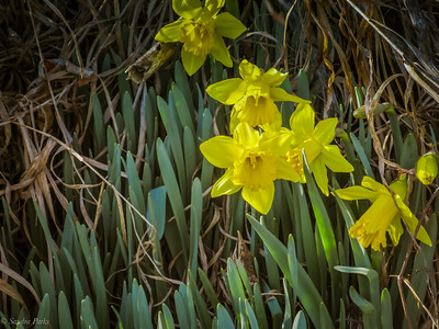 3-10-19 in the Briery Branch daffoldil bank