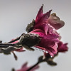 3-21-19:  Tulip magnolia, in thhe rain.