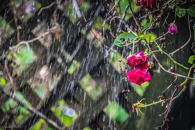 5-25-19: Roses in the rain