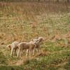 4-6-19: Lambs, Madrid Road