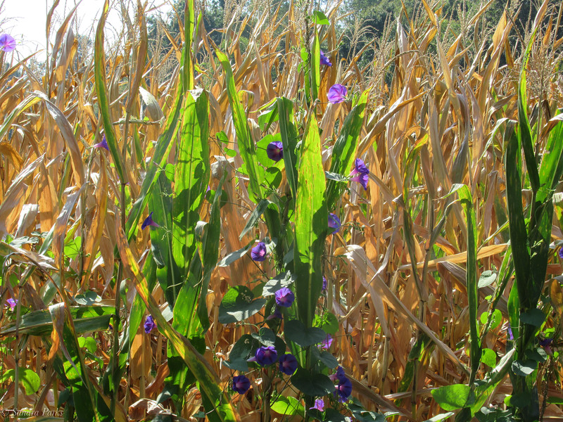 9-29-19: Morning glories and the end of the corn