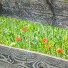 5-16-19: wild poppies