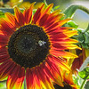 9-16-19: Red sunflower