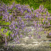 4-29-19: Wisteria over SPring Creek