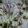 3-3-19: Snow and crocuses