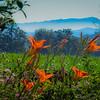 6-26-19: Blue Ridge and daylilies