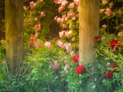 5-22-19: Roses along the evening ride
