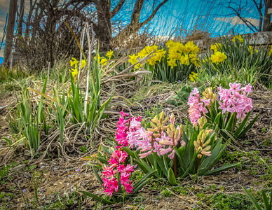 3-18-19: Roadside flowers... the hyacinth joins the symphony.
