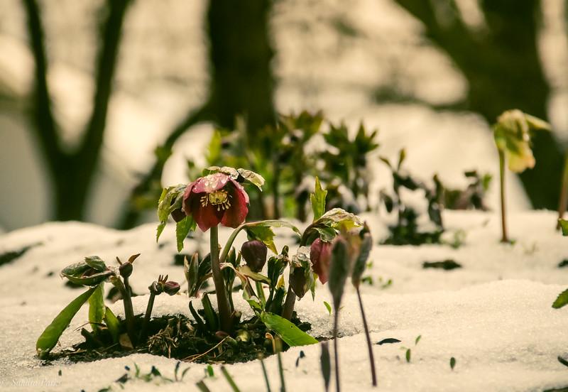 3-4-19:  Lenten Rose, in the icy snow.