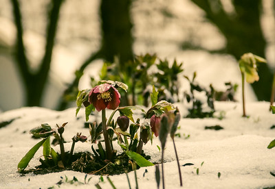 3-4-19:  Lenten Rose, in the icy snow.