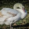 1-10-19: Swan
