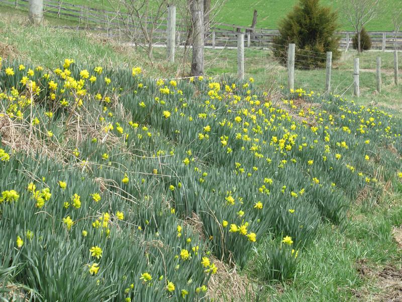 3-30-19: Briery Branch daffodils