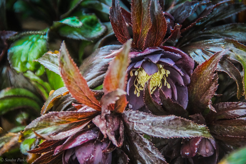 3-1-19: in the gloom of this day... Black hellebore
