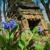 4-15-19: Bluebells, Natural Chimneys