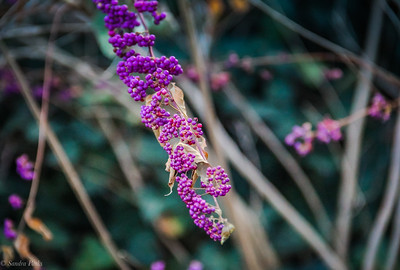 11-13-19: Beautyberry