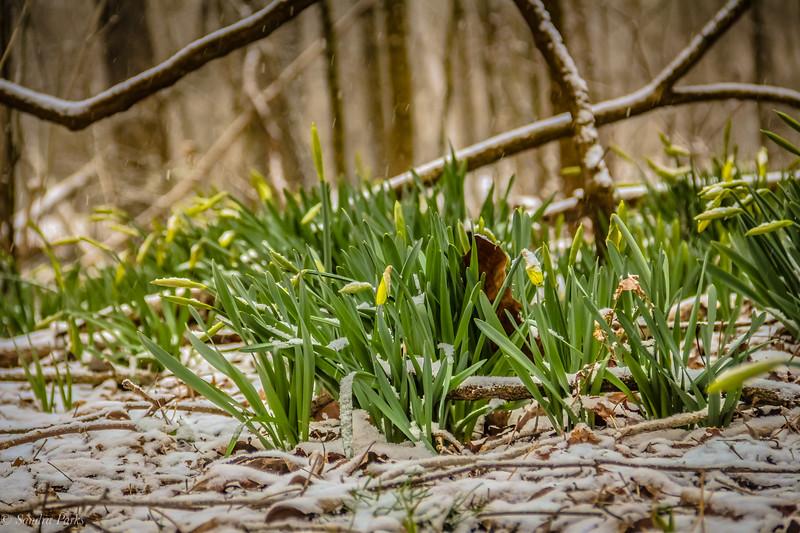 3-8-19: Dafodils in Wildwood