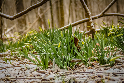 3-8-19: Dafodils in Wildwood