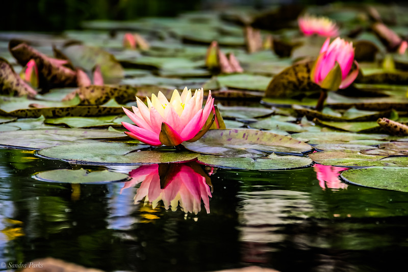 5-14-19: Water lilies .Edgebriar