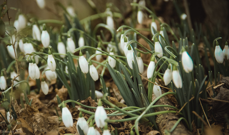 2-10-19: snowdrops persit to bring hope of spring