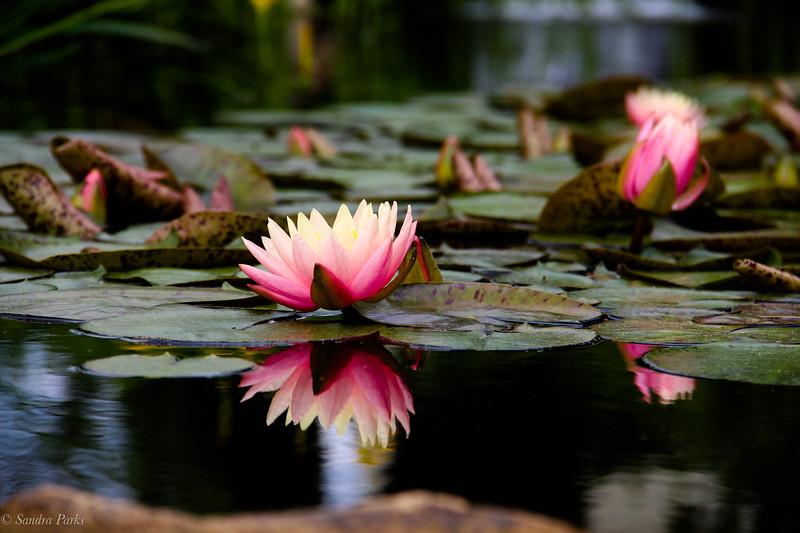 5-14-19: Water lilies .Edgebriar