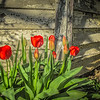 4-10-19: Abandoned tulips, Centerville.