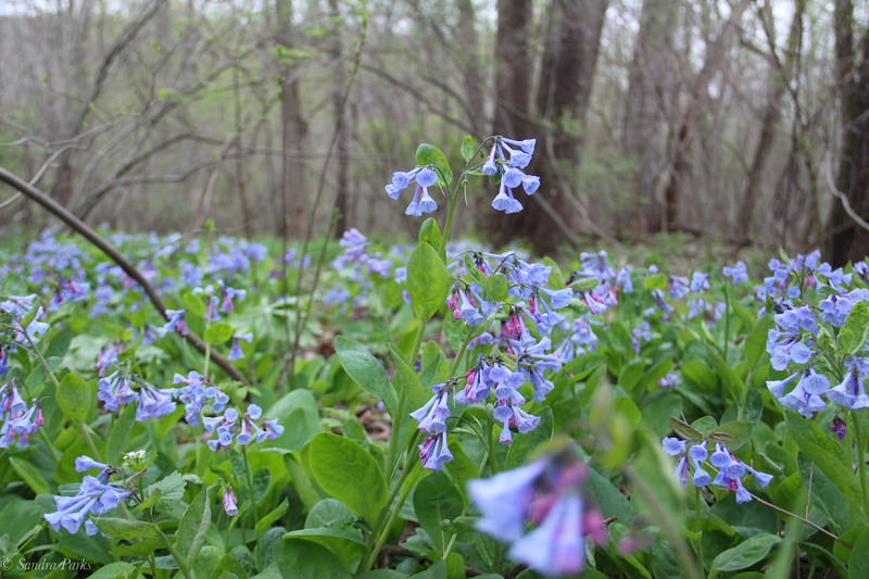 4-14-19:  Virginia bluebells