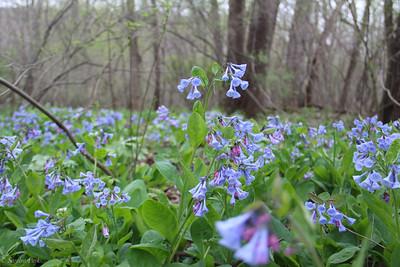 4-14-19:  Virginia bluebells