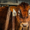 1-29-18: How now, brown cow?
