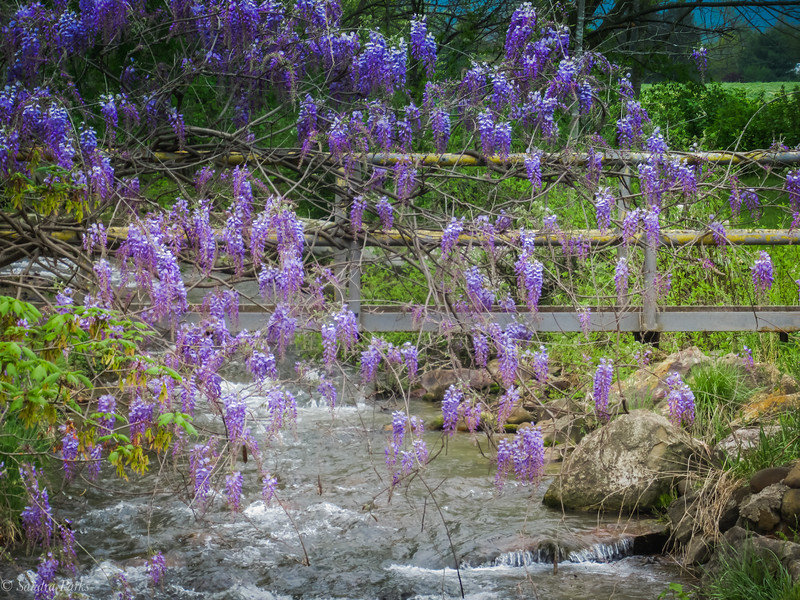 4-25-19: Wisteria over Spring Creek