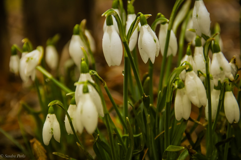 2-11-19: Snowdrops. The February definition of hope.