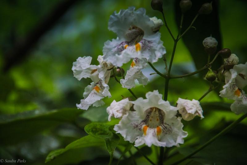 5-28-19: Catalpa blossoms