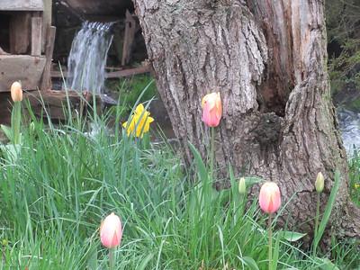 4-14-19: Spring Creek tulips