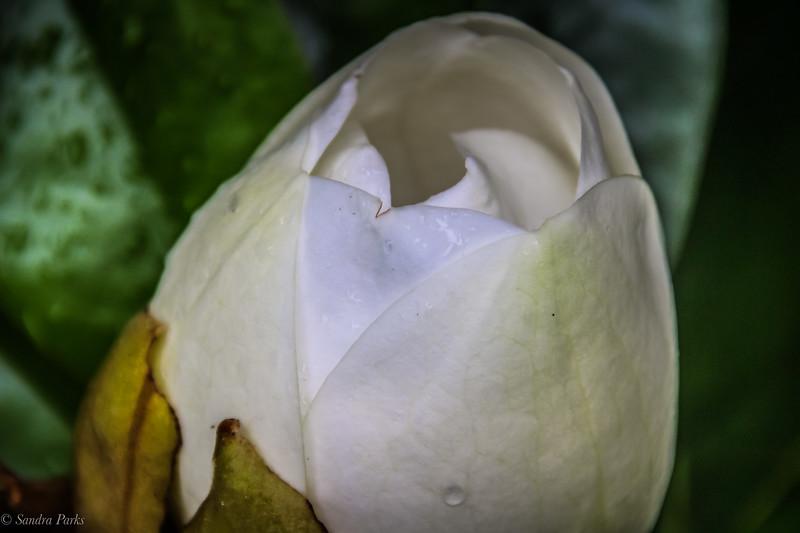 6-5-19: A magnolia promise