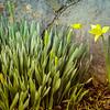 2-26-19: First daffodil