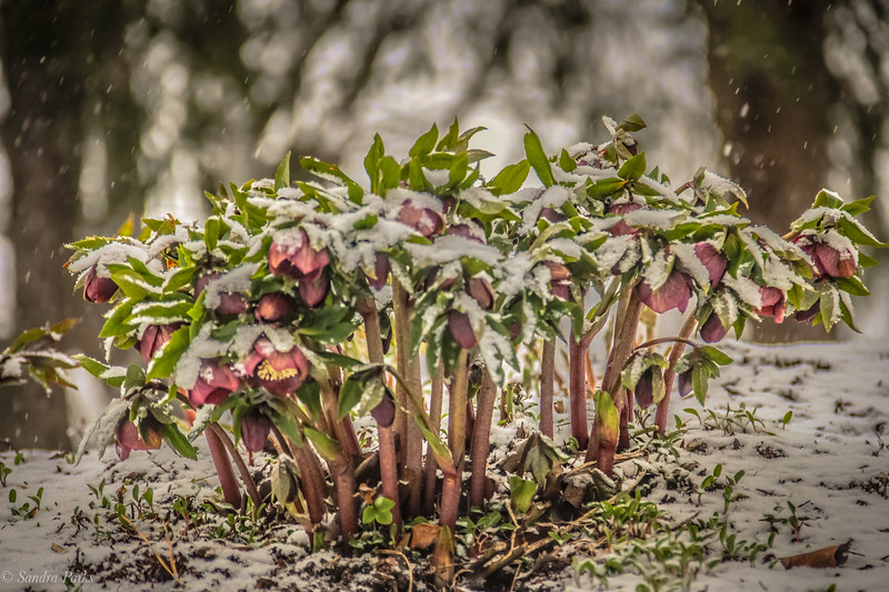 3-8-19: Hellebore in a snow storm.