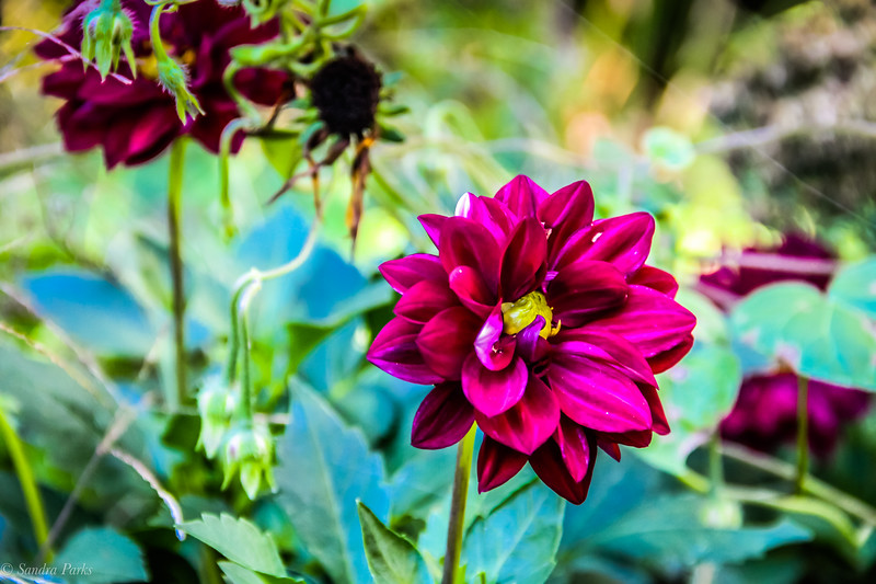 10-18-19: Last of the dahlias. They've been stalwart companions all summer and into the fall.
