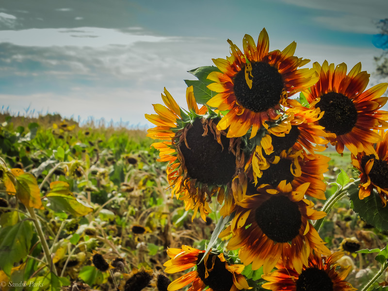 10-19-19:  As long as these sunflowers keep blooming, I'll stop and take a picture of them