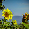 6-27-19: Sunflowers, Dry River