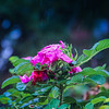 10-8-19: Roses in the rain