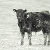 3-11-119: Muddy cows