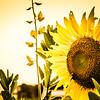 0-14-19: Sunflower, evening light