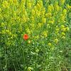 4-30-19: Wild poppy