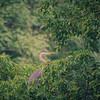 8-10-19: Heron in a tree