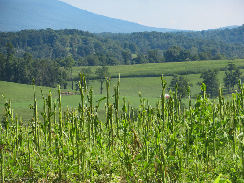8-5-2020: This cornfield -- and only this cornfield -- was completely sheared.