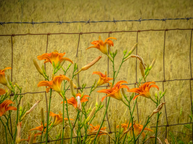 6-22-2020: Ditch lilies