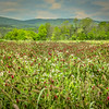 5-24-2020:  Red clover