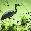 6-30-2020: Heron, C and O canal