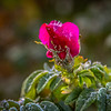 11-19-2020: Frost on the roses
