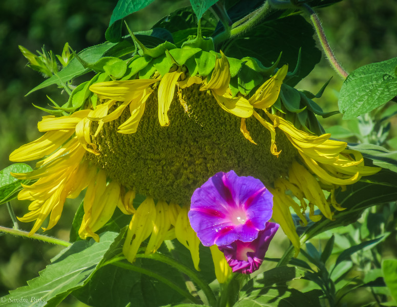 8-11-2021: Morning glory in a sunflower